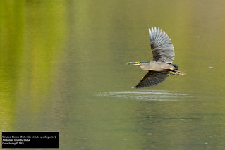 Striated Heron (Butorides striata spodiogaster) | by Dave 2x