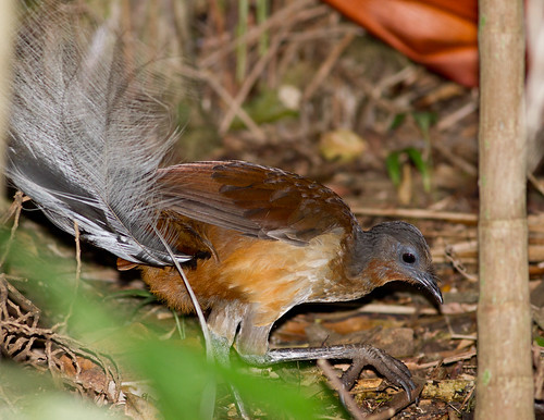 Albert's Lyrebird | by petefeats