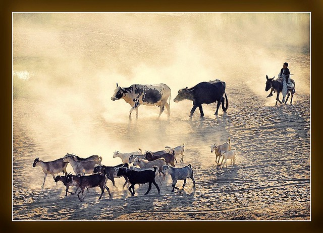 Herd Heading Home
