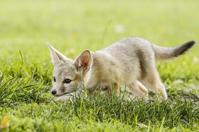 San Joaquin Kit Fox Kit Stalking (An Inanimate Object)