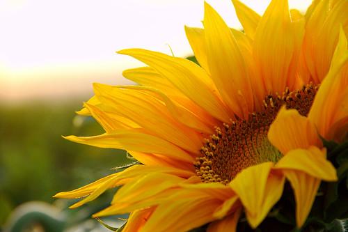 flowers nature sunrise israel sunflower goldenhour apsc canoneos600d