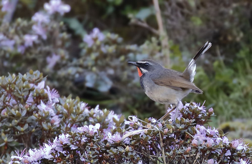 White-tailed Rubythroat_16-06-07_Calliope pectoralis | by Langham Birder