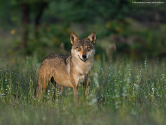 Indian Wolf (female)