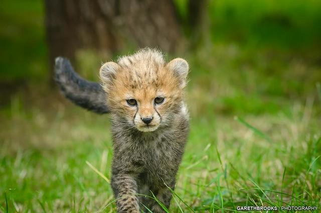 Chester Zoo Cheetah Cub 2013