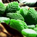 green spearmint leaves