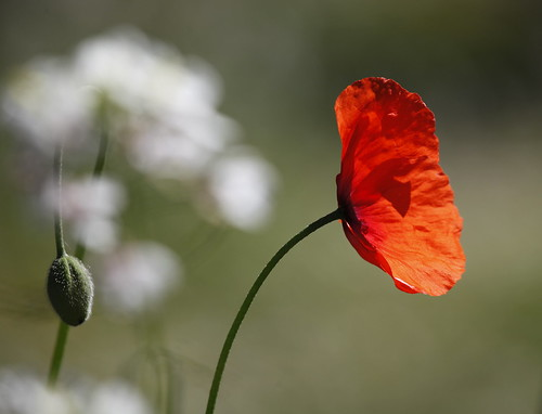 through the dancing poppies stole a breeze | by jenny downing