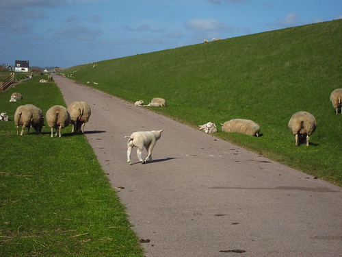 Texel Sheep   by Bobcatnorth
