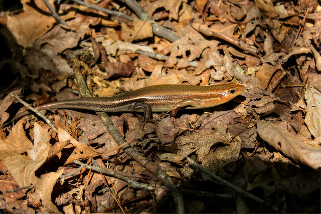 Plestiodon fasciatus, Narrows of the Harpeth SP, Cheatham Co, TN