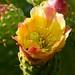 Prickly Pear Blossom por bbum