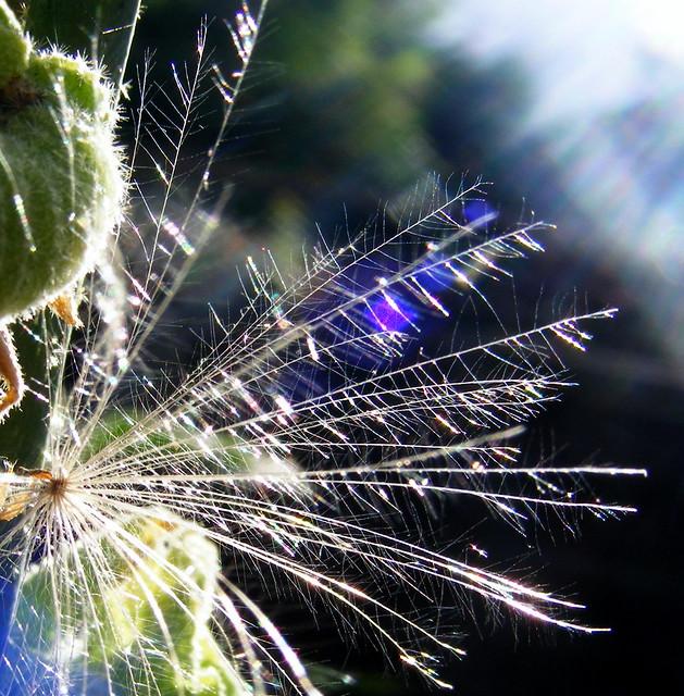 Dandilion Seed...