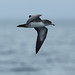 Flickr photo 'Pink-footed Shearwater' by: Aaron Maizlish.