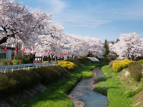japan panasonic 桜 日本 sakura niigata joetsu takada 高田 上越 gx7 14140ii 新澙