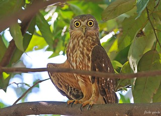 Barking Owl | by flickr quickr