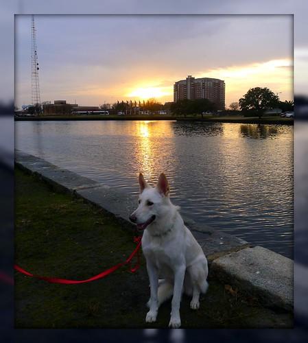 astor whitegermanshepherd vitschäfer explore mla majlis andersen sunset solnedgång hund dog vit hvit