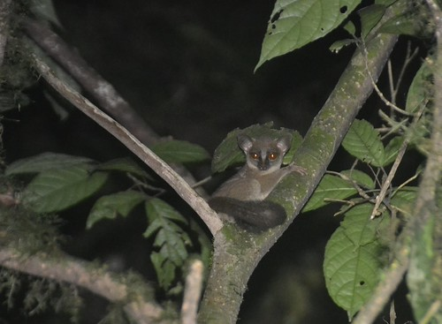 Thomas's Galago | by curtisfrommichigan