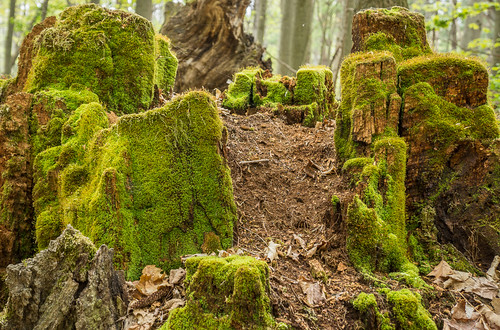 An old stump in Jobes Woods | by timras
