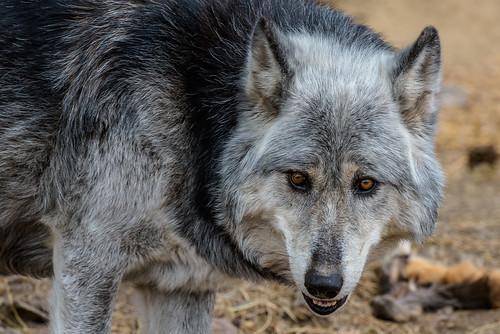 rmwf wolf wolftour wolves guffey colorado usa