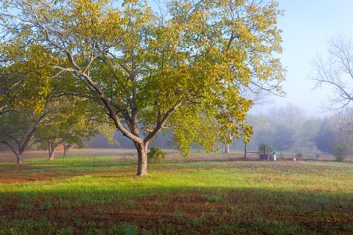 fence flint fog grass gresham hdr leaves orchard pasture pecan sunrise texas tree trees tx tyler