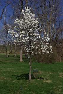 Callery Pear   by eggrole