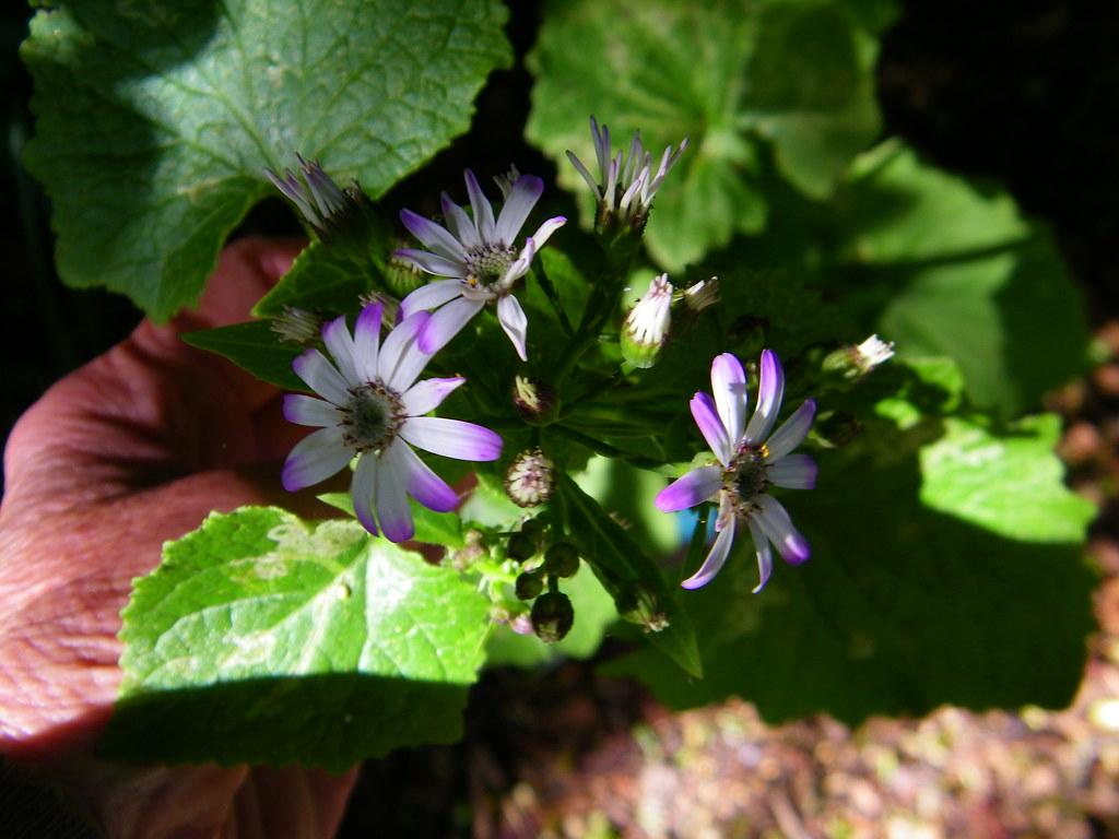 Senecio Stellata Giovanna S Select Rita Xavier Flickr
