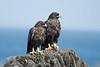 Galapagos Hawks Pair by David Schenfeld