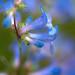 Close up, blue mist penstemon.