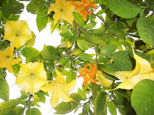 Yellow orange trumpets of Brugmansia