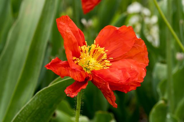 Rote Mohnblüte