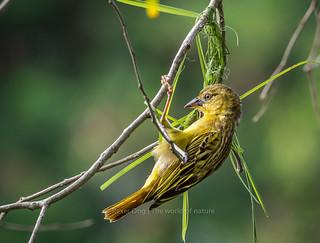 Golden weaver female | by Rexer Ong