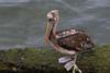 Peruvian pelican (Pelecanus thagus) Chiloé Island, Chile by Ricardo Bitran