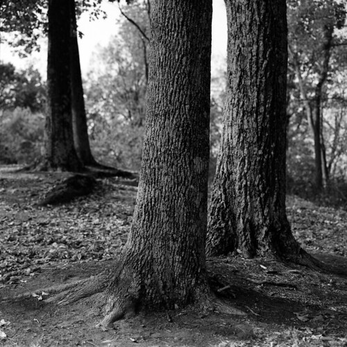 trees fortdickersonpark nature bronicasq zenzanon80mm ya2 120film mediumformat blackandwhite bwfp southknoxville thesouth xtol fp4party ilfordfp4plus