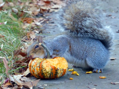 Squirrel's Thanksgiving | by Zsaj