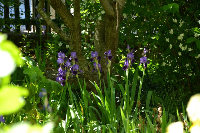 Iris 'Monsignor' - Vilmorin 1907 8845337228_752ed0c844_z