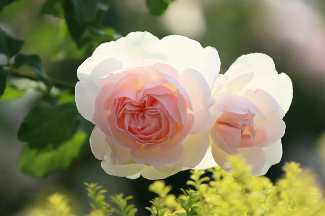 pink rose. ピエール ド ロンサール