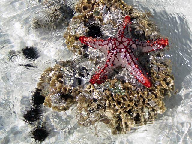 Red sea star - Pwani Mchangani, Zanzibar
