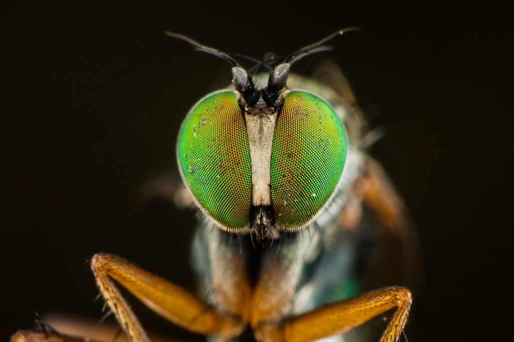 Compound Eye of A Fly