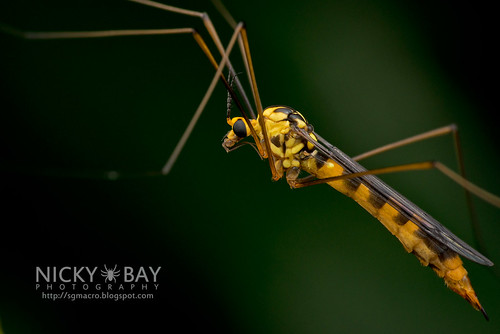 Crane Fly (Tipulidae) - DSC_2378 | by nickybay