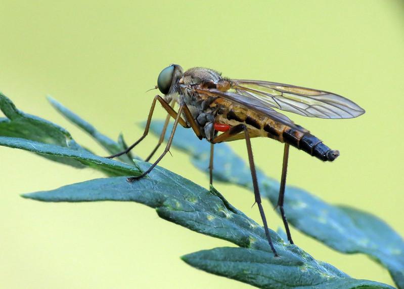Marsh Snipefly - Rhagio tringarius