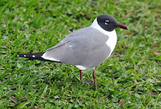 Laughing Gull with mating plumage (Leucophaeus atricilla) | by warriorwoman531