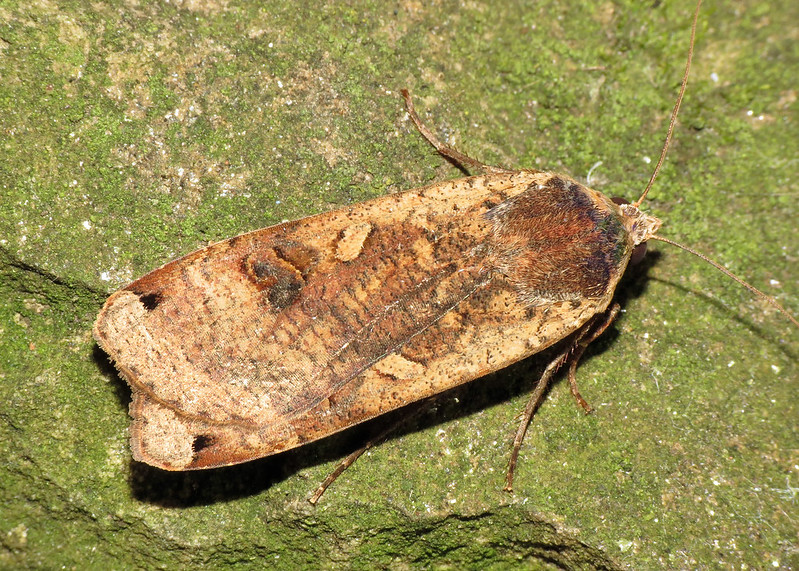 2107 Large Yellow Underwing - Noctua pronuba