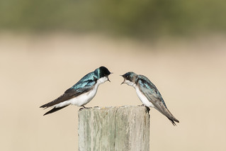 Tree Swallow-3411 | by Guideon72