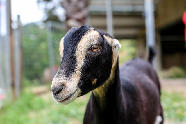 Winona Goat