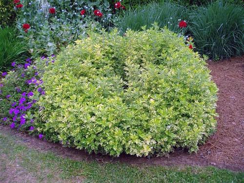Artemisia, Oriental Limelight, variegated