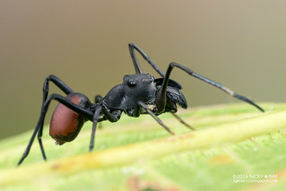 Ant-mimic jumping spider (Toxeus maxillosus) - DSC_5403