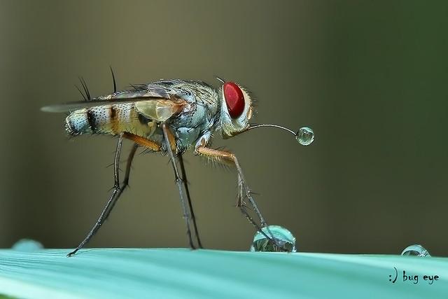 Stable flies / แมลงวันคอกสัตว์