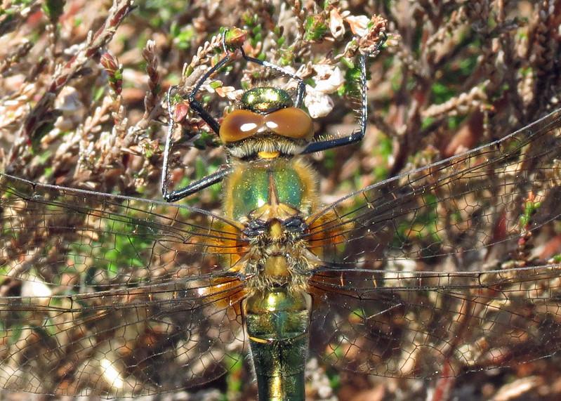 Downy Emerald - Cordulia aenea