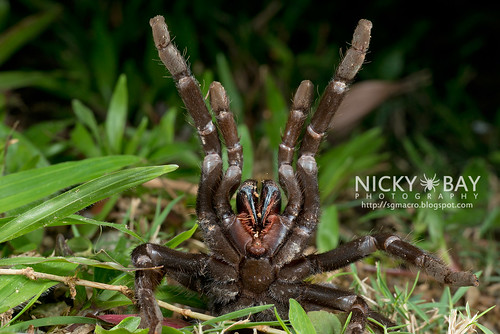 Tarantula (Theraphosidae) - DSC_1118 | by nickybay