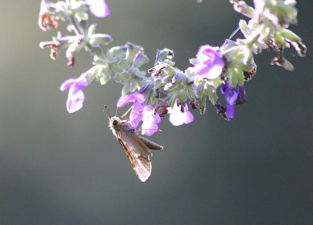 mystery skipper on Salvia flower