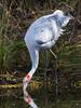 Brolga (Grus rubicunda) by David Cook Wildlife Photography