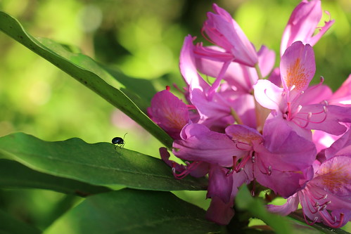 Rhododendron and Beetle